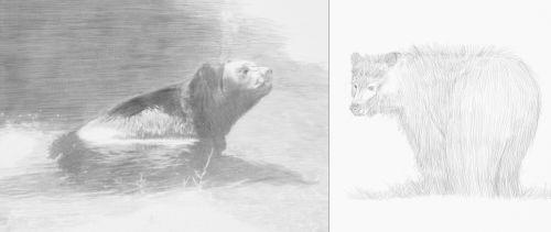 Two bear drawings in pencil
