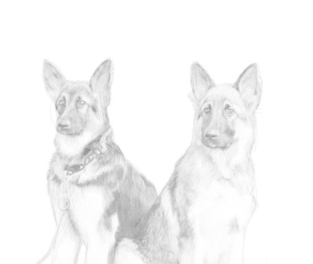 Dog Sketches in pencil 2