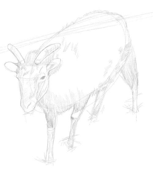 Pencil Drawings of Goats