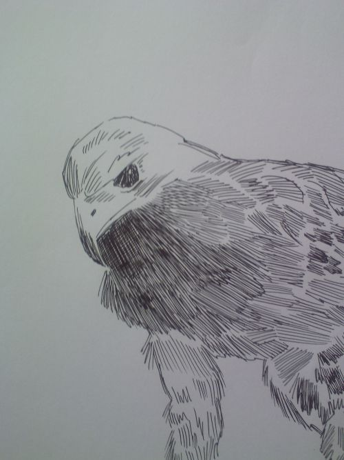 pen and ink eagle drawings close up of head