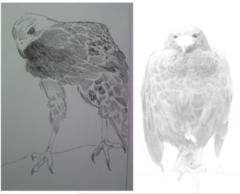 eagle drawings