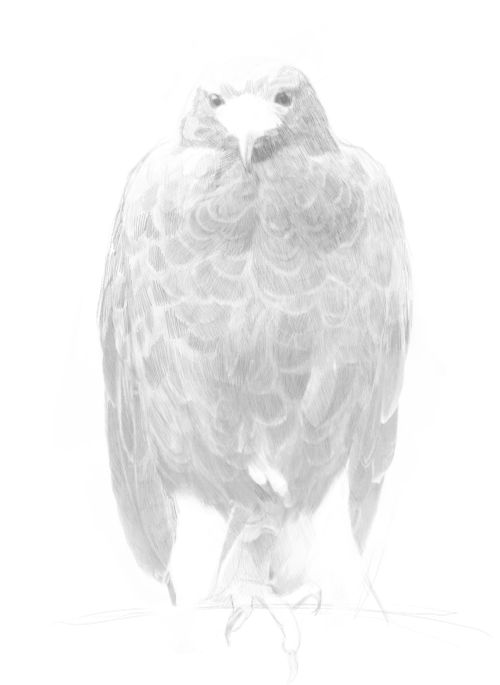 eagle drawings in pencil