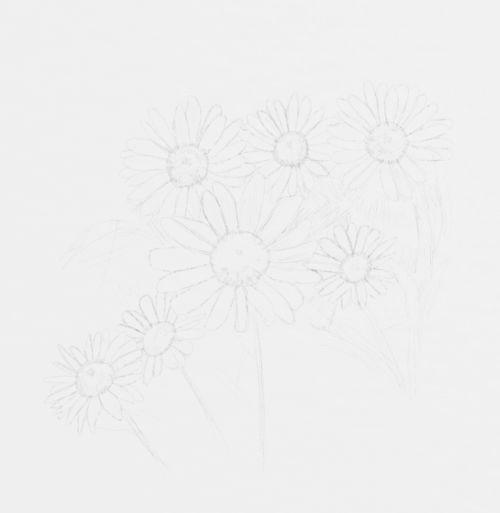 Daisy Sketch in pencil