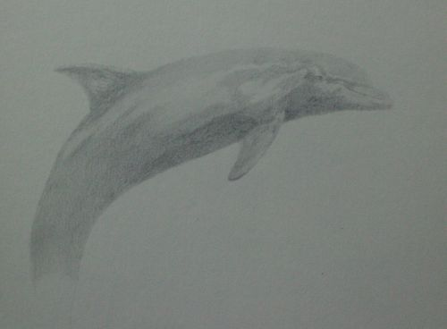 tonal dolphin drawing in pencil