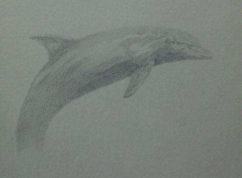 tonal dolphin drawing in pencil