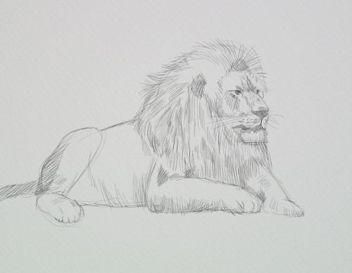 Lion Sketches Lesson