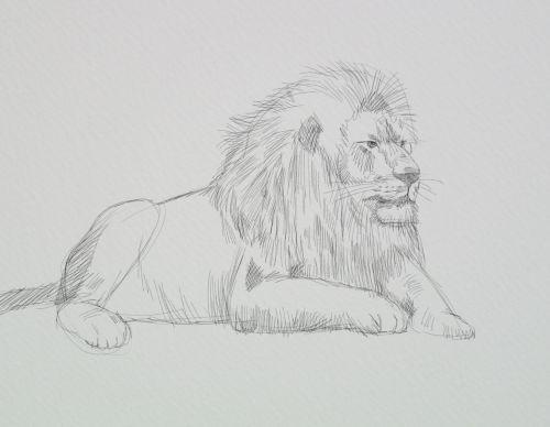 Line Art Lion : Lion sketches lesson