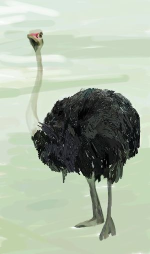 how to draw an ostrich 2