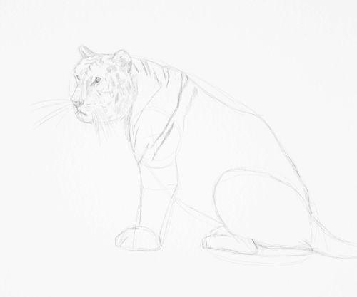 Tiger sketch in pencil 13