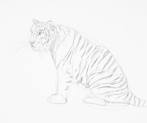 Tiger sketch in pencil 14