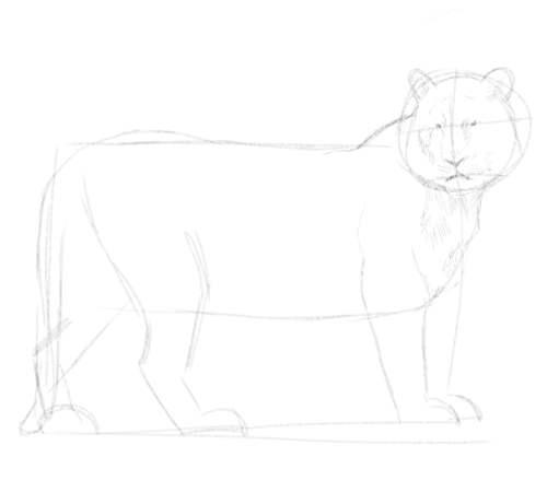 Tiger sketch in pencil 5