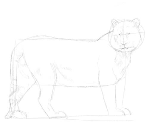 Tiger sketch in pencil 6
