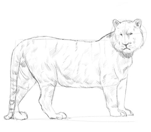 Tiger Sketch An Online Drawing Tutorial