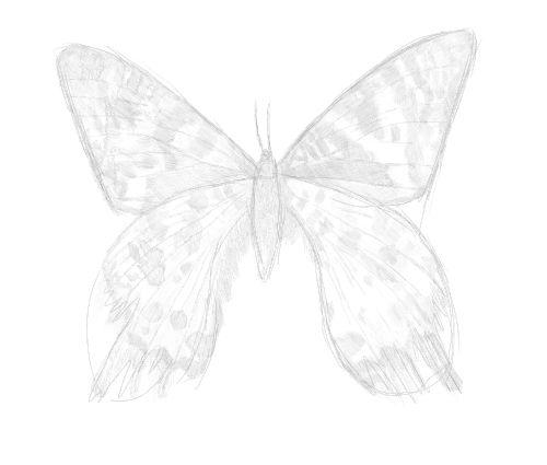 butterfly sketch in pencil