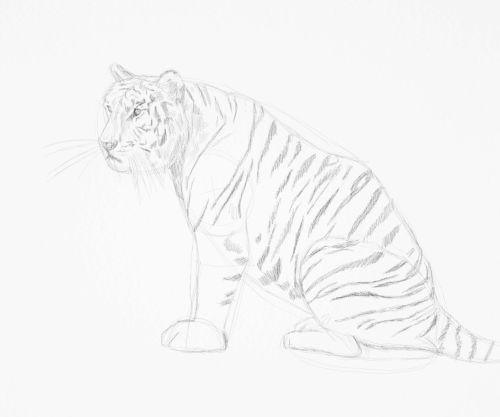 Tiger sketch in pencil 14
